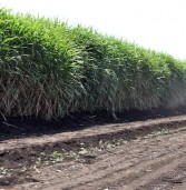 New cane varieties to boost Zimbabwe's sugar output