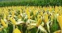 COMMODITIES: Impending grain deficit rekindles GMO consideration
