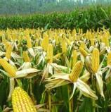 SA bumper harvest allays regional maize shortfalls