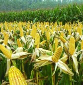 COMMODITIES: Impending grain deficit rekindles GMO consideration