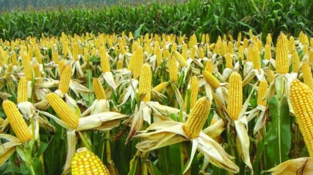 COMMODITIES: Private traders scuttle SADC maize reserves procurement