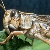 Locust outbreak threatens millions in SADC