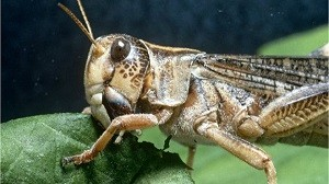 Locusts exposing millions of southern African citizens to food insecurity