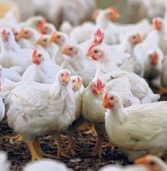 'Dumped' imports ruffle SA poultry's feathers
