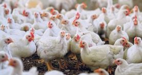 Avian epidemic plunging poultry industry into turmoil